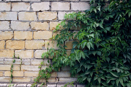 Thickets of wild grapes on a white brick wall. Natural background of green leaves. The concept of gardening. Summer sunny day.
