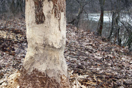 Large bark of a tree trunk gnawed by beavers in the forest. Chipped wood and sawdust around the tree. Beavers build a dam near a stream or look for food. Stockfoto