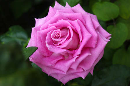 Beautiful pink rose in the garden. Leafy blurred background.