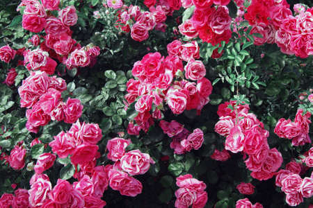 Beautiful fresh pink roses bush in nature. Natural background, large inflorescence of roses on a garden bush.