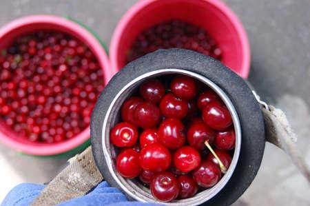 Buckets full of ripe fresh cherries. Harvest season in the garden. Stockfoto