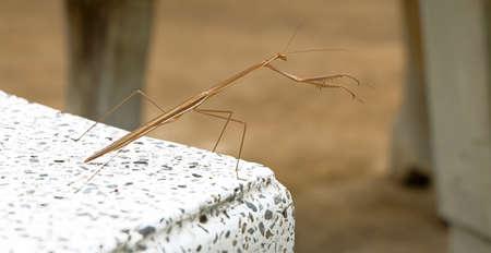 Close up the brown mantis on the white stone desk. Archivio Fotografico