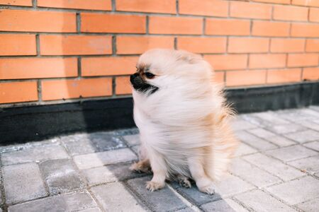 Sand-colored Pomeranian Spitz dog lies on the pavement with a leash on the street. A strong wind blows on him Фото со стока - 145350955