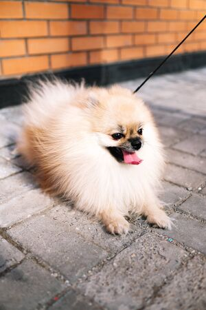 Sand-colored Pomeranian Spitz dog lies on the pavement with a leash on the street. A strong wind blows on him