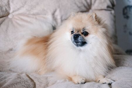 Pomeranian the dog is lying on the couch and is sad.