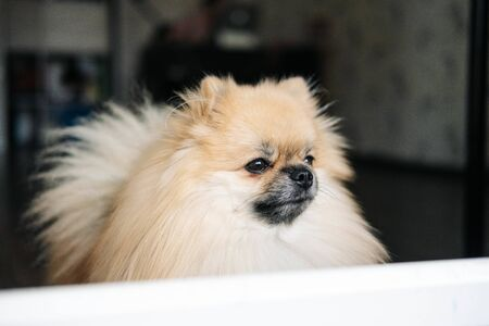 Pomeranian dog looking out the window. close-up