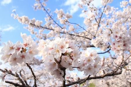 haulm: Sakura