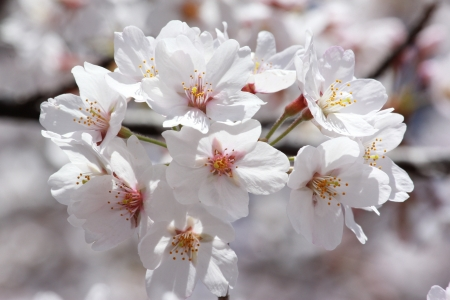 haulm: Cherry  s blossom Stock Photo