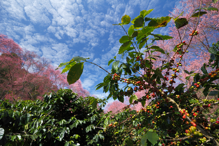 coffee tree: coffee tree and beautiful view of cherry blossom wild Himalayan cherry Stock Photo