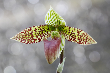 lady's slipper: Paphiopedilum sukhakulii  member of Ladys Slipper orchid , the endemic plant of  Thailand , Southeast Asia.
