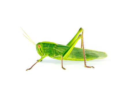 langosta: Citrus Langosta  algodón Locust (Chondracris rosea brunneri) sobre fondo blanco