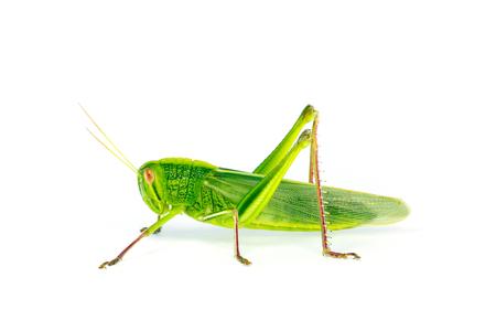 langosta: Citrus Locust Cotton Locust (Chondracris rosea brunneri) on white background