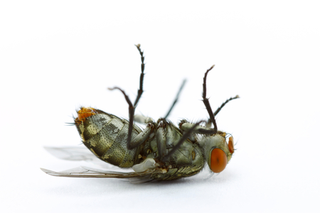 diptera: Close up dead fly on white background