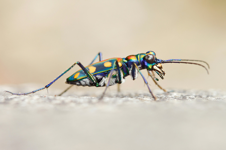 predatory insect: Tiger beetle : Cicindela (Cosmodela) aurulenta juxtata (shallow DOF) The aggressive predatory insect.