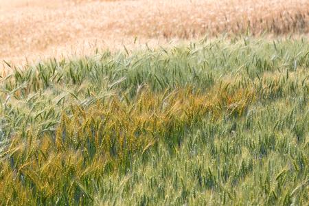 premature: Colorful premature and mature wheat plant in the field