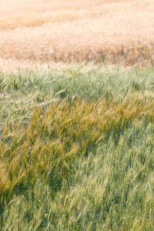 premature: Colorful premature and mature wheat plant in the field (vertical)