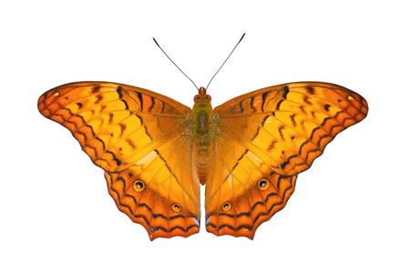 nymphalidae: Common Cruiser  (Vindula erota): Tropical Nymphalidae live butterfly on white background
