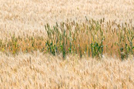 premature: Premature and mature wheat plant in wheat field Stock Photo