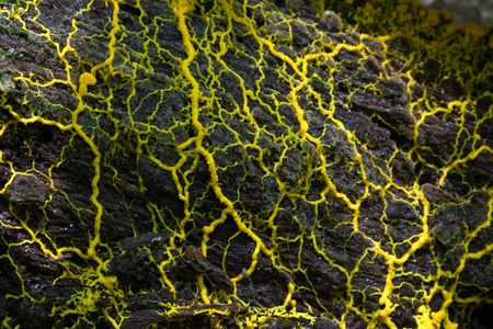 eukaryotic: Slime mold  slime mould (physarum sp) on the decay log