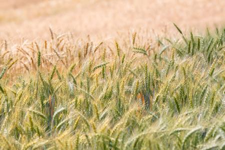 premature: Premature and mature wheat plant in the field