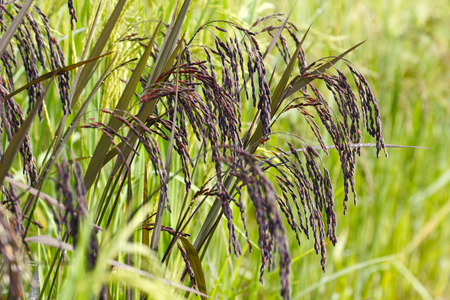 Black (purple) rice in the green rice field