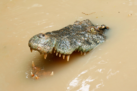 siamensis: Crocodile (Crocodilus siamensis) head in the water