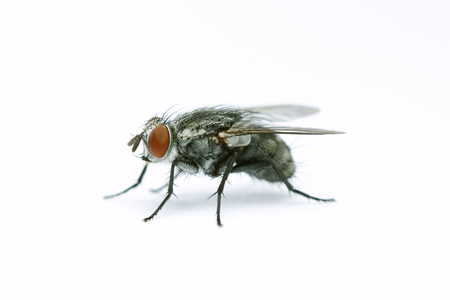 House fly on white background Stock Photo