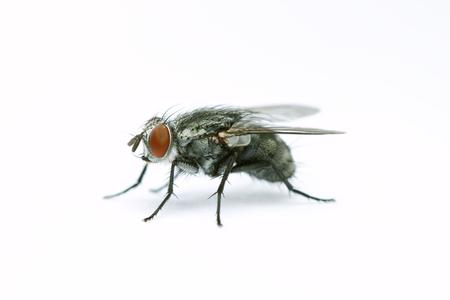 diptera: House fly on white background Stock Photo