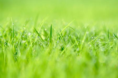 dewdrop: Dewdrop on green grasses (shallow depth of field)