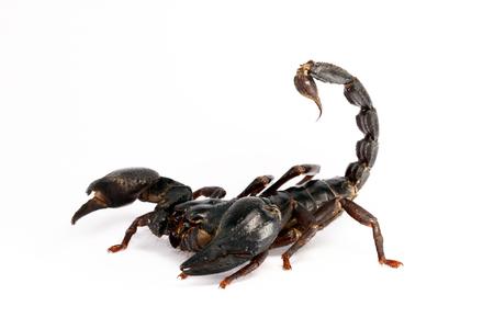 arthropod: Giant forest scorpion (Heterometrus laoticus) on white background. Heterometrus sp. are the tropical forest scorpion.
