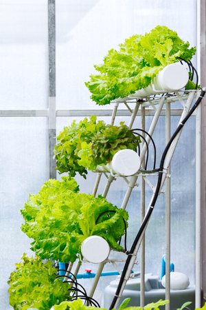 soilless cultivation: Vegetables growing by hydroponics technique in the greenhouse