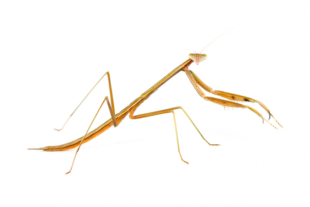 mantodea: Playing mantis (member of order  Mantodea) on white background