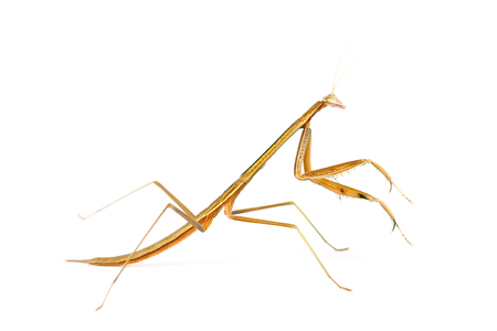 mantodea: Playing mantis on white background