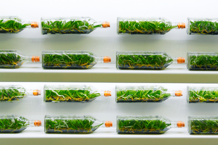 tissue culture: Orchids sprout growing in the bottle by plant tissue culture technique Stock Photo
