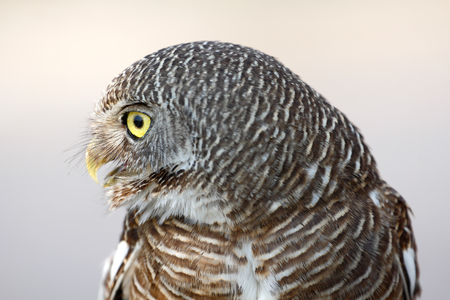 owlet: Lateral view Asian barred owlet (Glaucidium cuculoides) resident in Indian Subcontinent and Southeast Asia Stock Photo