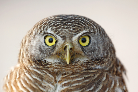 subcontinent: Asian barred owlet (Glaucidium cuculoides) resident in Indian Subcontinent and Southeast Asia