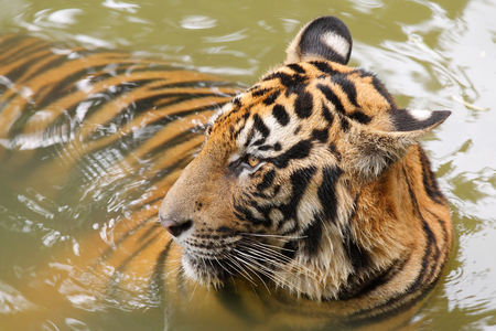 tigris: Indochinese tiger (Corbetts tiger)(Panthera tigris corbetti) in the water