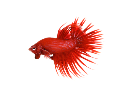 betta: Red Crowntail Betta (Betta splendensSiamese fighting fish) display an aggressive action on white background