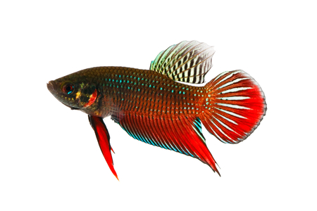 fish type: Wild type of male Siamese fighting fish (Betta splendens).