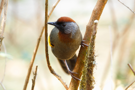 laughingthrush: Silver-eared laughingthrush (Trochalopteron melanostigma) is subspecies of the chestnut-crowned laughingthrush