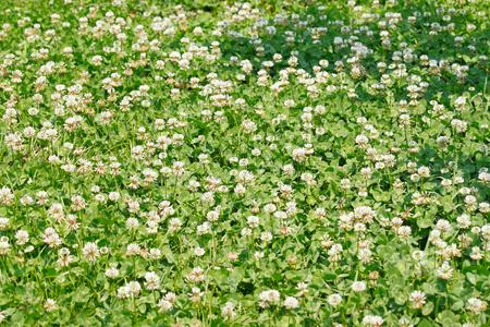 trifolium repens: White cloverDutch clover (Trifolium repens) field with flowers. Stock Photo