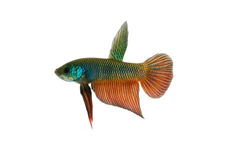 fighting fish: Betta smaragdina (Emerald betta, Blue betta, Green fighting fish) on white background.