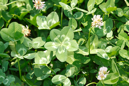 trifolium: Five-leaf white cloverDutch clover  (Trifolium repens) on the field. Stock Photo