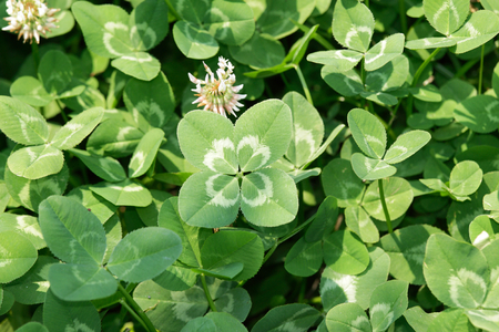 Four-leaf white clover Dutch clover  (Trifolium repens) on the field. Rare variation of the three-leaf clover. Stock Photo