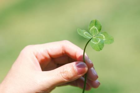 """ Lucky clover""  Four-leaf white clover Dutch clover  (Trifolium repens) in hand. Rare variation of the  three-leaf clover. Stock Photo"