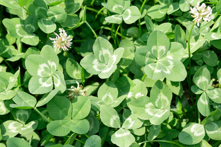 trifolium repens: The multiple form (threefourfive-leaf) of white cloverDutch clover  (Trifolium repens) on the field (focus on five-leaf clover).