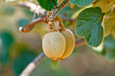 kiwi fruta: El kiwi  grosella china (Actinidia sp.) En la madera de la vid. El kiwi es originario de China y de amplia difusi�n en el mundo
