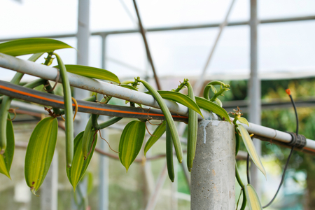 vanilla bean: Vanilla fruit (vanilla bean, pod)  , The Vanilla planifolia (orchid) fruits are harvest and cured to dried the pod for extract vanilla flavoring. Stock Photo