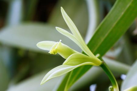 vainilla flor: flor de la vainilla (Vanilla planifolia) es un miembro de la orquídea de vainilla. El recurso de aroma de vainilla. Foto de archivo