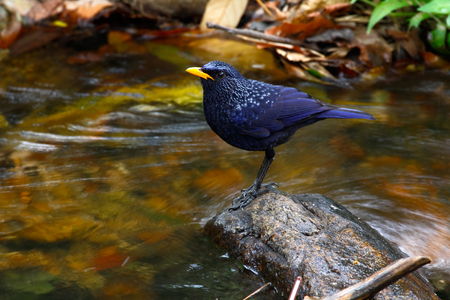 subcontinent: Blue whistling thrush (Myophonus caeruleus eugenei) found in Indian subcontinent and Southeast Asia Stock Photo